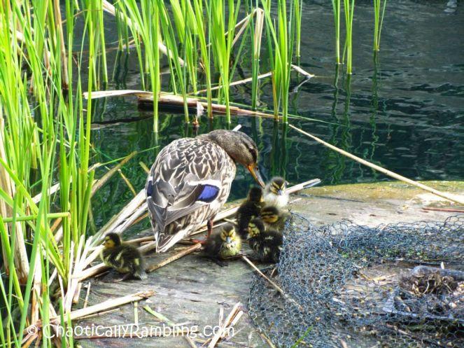 baby ducklings london