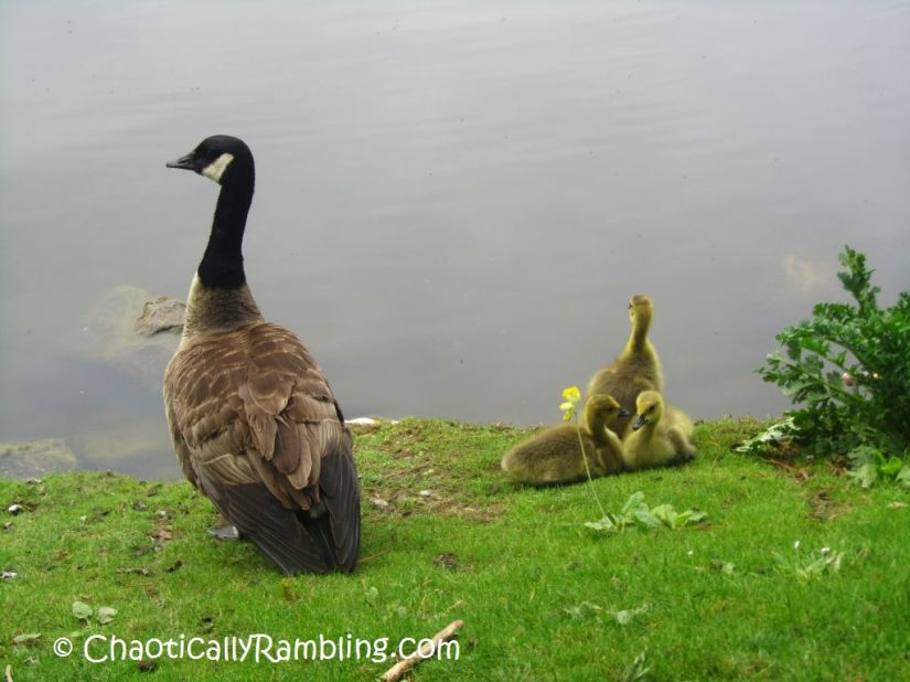 baby geese london